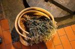 dried indigo plant