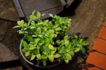 the source-indigo plant